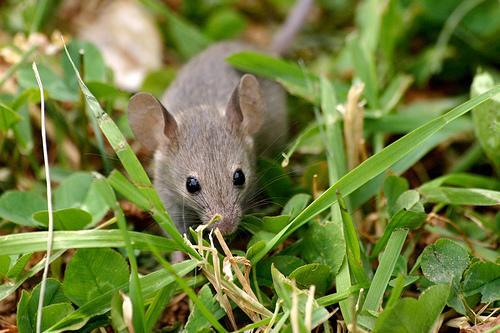 PELE PARASTĀPeles peļu ģints... Autors: augsina Jūs par zaķiem,mēs par pelēm.