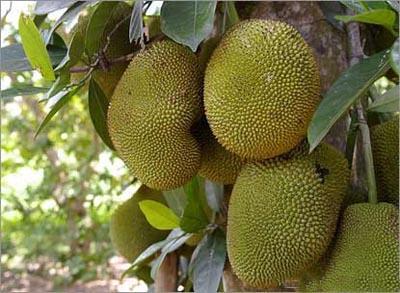 Jackfruit augļa dzimtene... Autors: laforeta Eksotiskākie augļi (Top10)