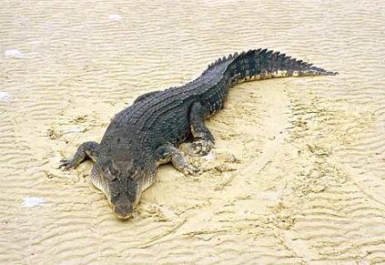 Lielākais reptīlis  saldūdens... Autors: kanba Pasaulē lielākie dzīvnieki.