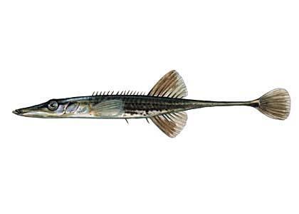 Jūrasstagars Spinachia... Autors: Sperovs Latvijas zivis