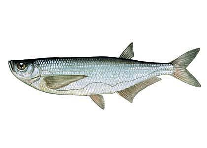 Kaze Pelecus cultratus Latvijā... Autors: Sperovs Latvijas zivis