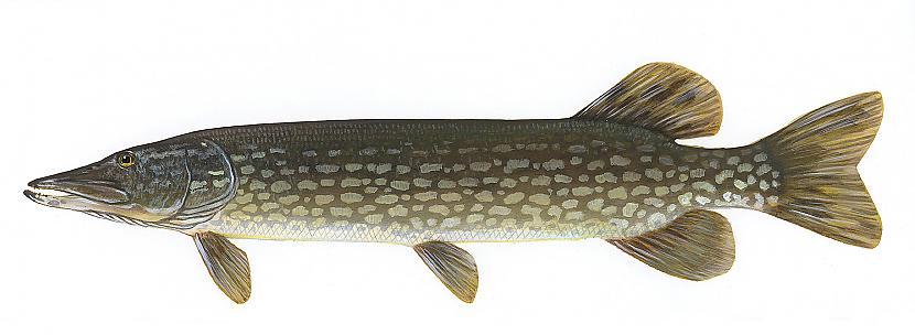Līdaka Esox lucius Izplatība... Autors: Sperovs Latvijas zivis