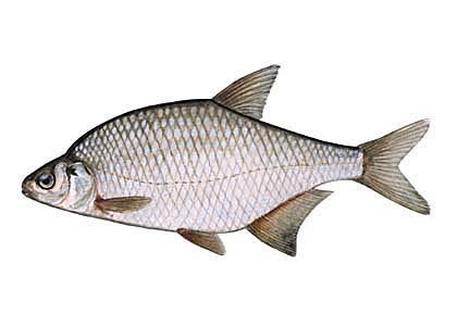 Plicis mauris plīte Blicca... Autors: Sperovs Latvijas zivis