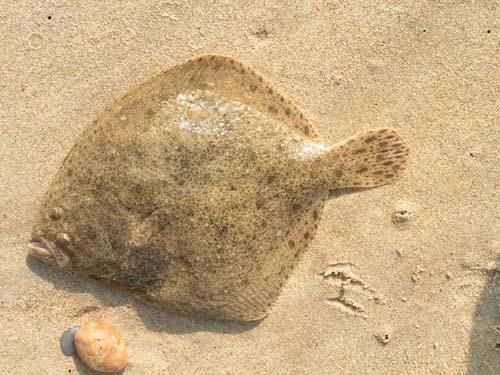 Akmeņplekste Psetta maxima ... Autors: Sperovs Latvijas zivis