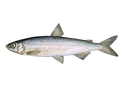 Repsis Coregonus albula... Autors: Sperovs Latvijas zivis