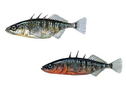 Trīsadatu stagars Gasterosteus... Autors: Sperovs Latvijas zivis