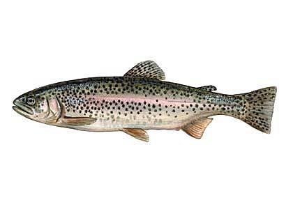 Varavīksnes forele... Autors: Sperovs Latvijas zivis