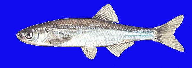 Ausleja Leucaspius delineatus ... Autors: Sperovs Latvijas zivis