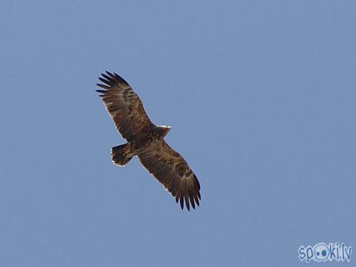 šis ir tas erglis Autors: edis66 Mazais ērglis Aquila pomarina