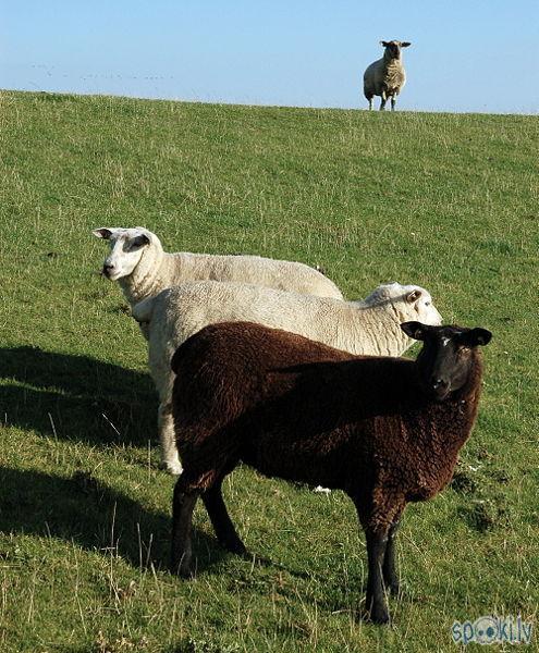 melnā avs Autors: karote Sheep par prieku