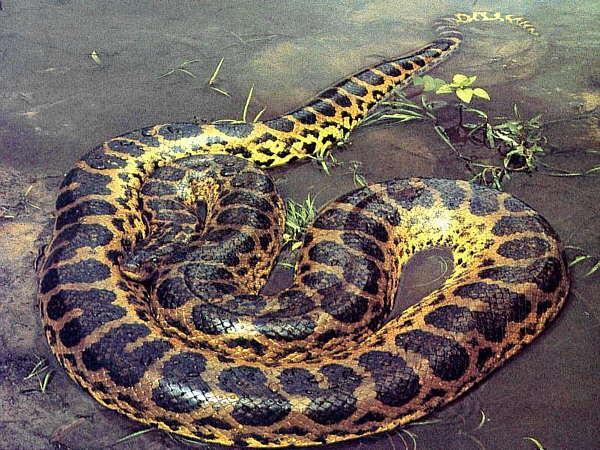 Vissmagākā ir anakonda  viņa... Autors: Justas [Čūskas un Fakti]