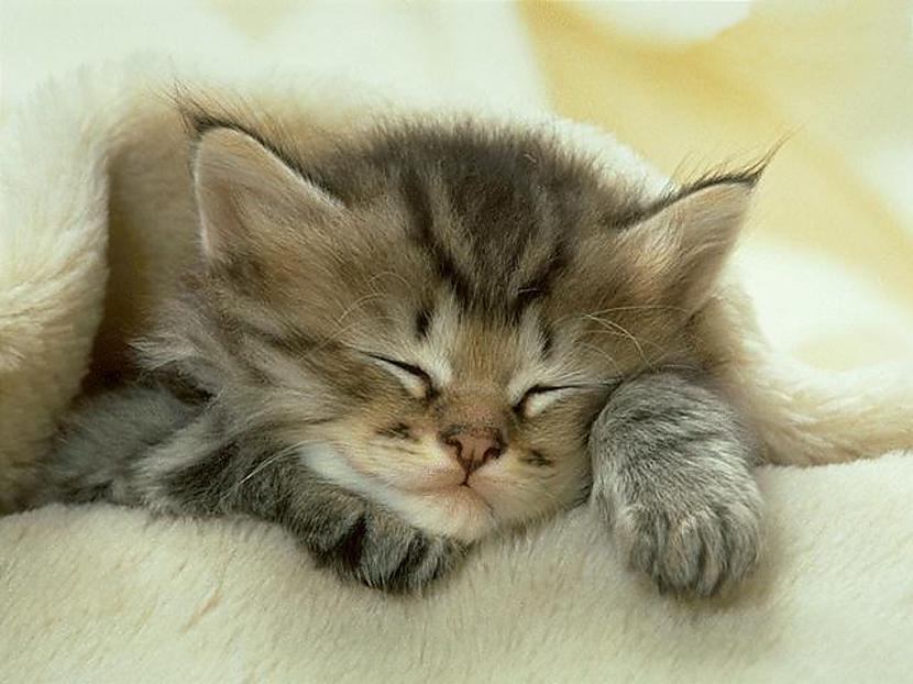 Kaķis gandrīz nekad neņaud... Autors: Fosilija Fakti par kaķiem.