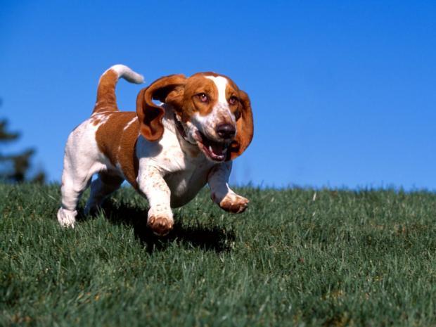 Suns elpo no 10  30 reizēm... Autors: Evuxi Fakti par suņiem.