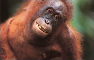 Top3 Orangutani  Lielos... Autors: relix11 Top 10 Gudrakie dzivnieki