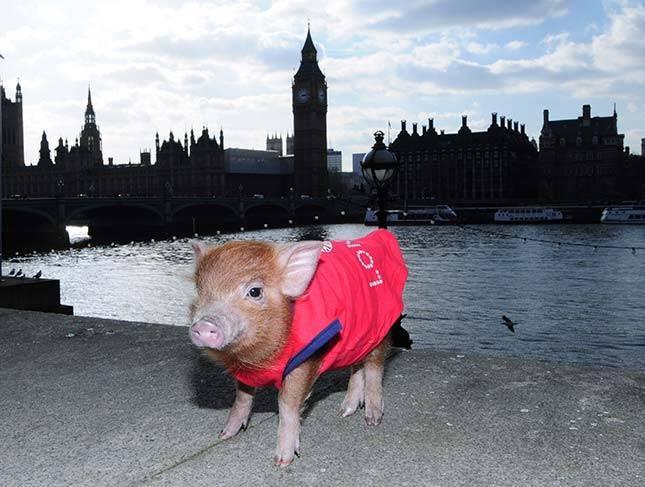 Mazā mikro cūciņa Londonā Autors: Skello Pasaules dīvainākie dzīvnieki.
