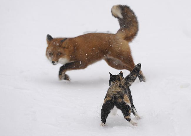 Autors: CONMAN Kaķis - lapsu mednieks