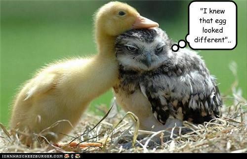 Autors: murkšķis 1st time I got Owled..