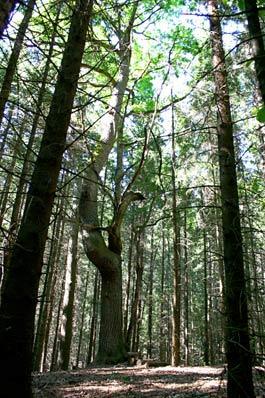 Autors: dea Pokaiņu mežs.