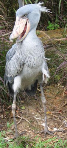 SHOEBILL ir ļoti liels putns... Autors: Vladziks 9 dīvānākie dzivnieki pasaulē
