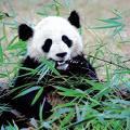 Lāči  PandasĶīna izdod 2... Autors: Plikpauris 6 pasaules dārgākie dzīvnieki pasaulē.