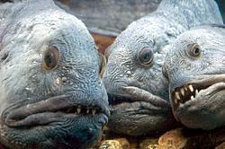 Zobainā vilkzivsAtlantijas... Autors: reds TOP 3: pasaules neglītākās zivis
