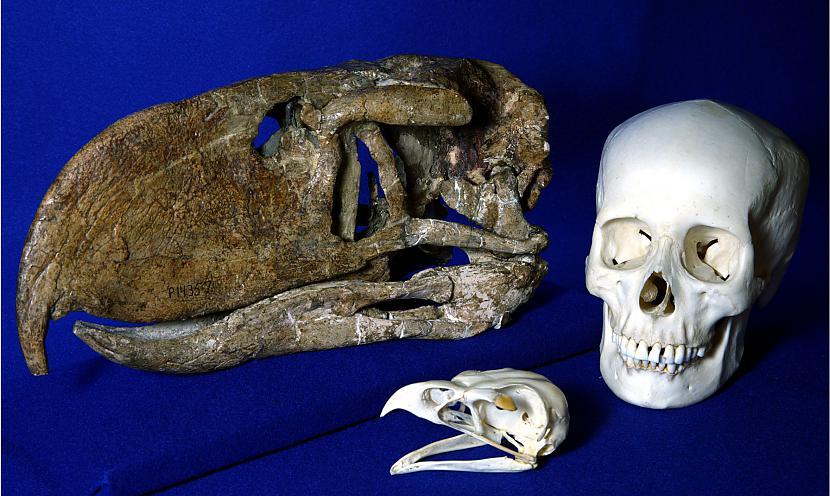 Dzīvos pleistocēnā izzudis... Autors: Fosilija Daži krutākie zīdītāji un putni