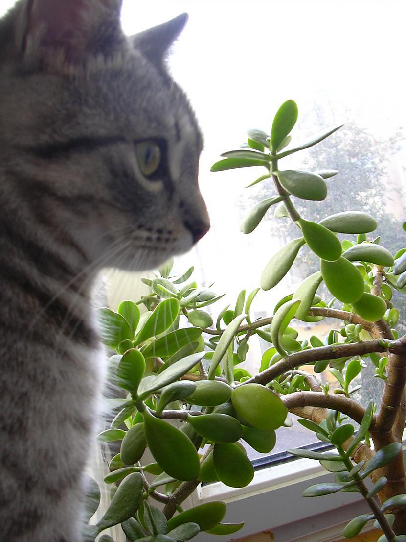 Kaķu oža ir 14 reižu smalkāka... Autors: tavs kaimins Mīluļi :*