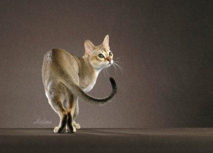 Mazāko kaķu  suga  Singapūri ... Autors: tavs kaimins Mīluļi :*