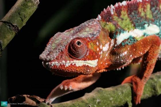 1Panteras hameleonsSarkans... Autors: Katchibaba Top 10 dabas visinteresantāk izkrāsotie dzīvnieki