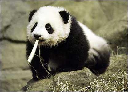 Bet es jusdamies stilīgs sāku... Autors: vilx2 Pandas dzīvestāsts