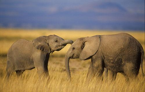 Pašlaik pasaulē dzīvo apmēram... Autors: Tavs Sencis Fakti par ziloņiem