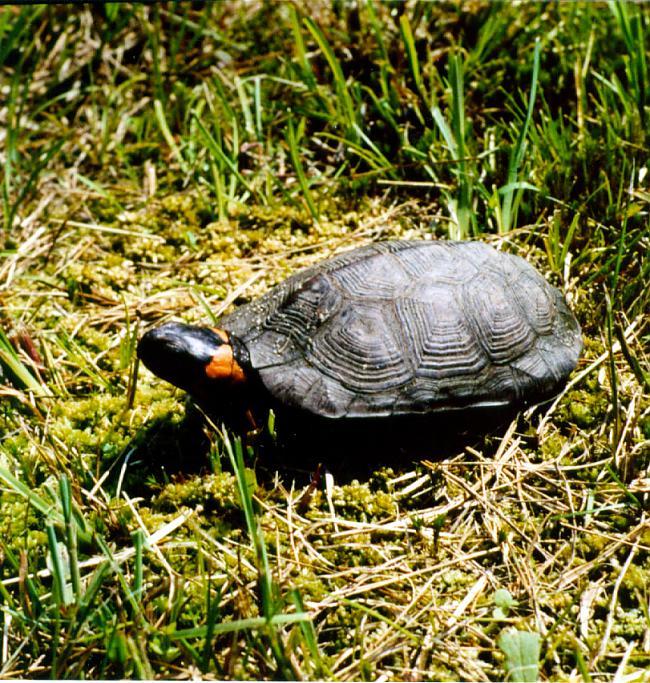Bruņurupuči ir aukstasiņu... Autors: 6luks Bruņurupuči