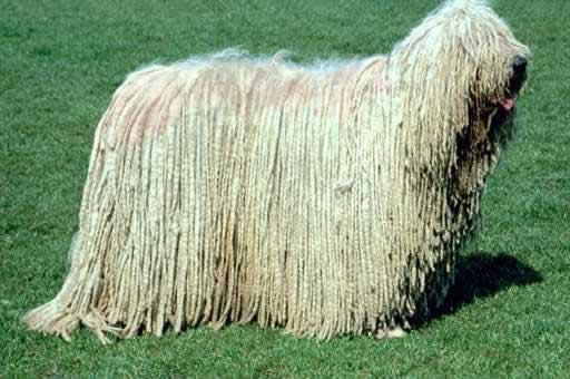 3 Komondora suns Komondor Dog Autors: VinijsPūks 25 pasaules jocīgākie dzīvnieki