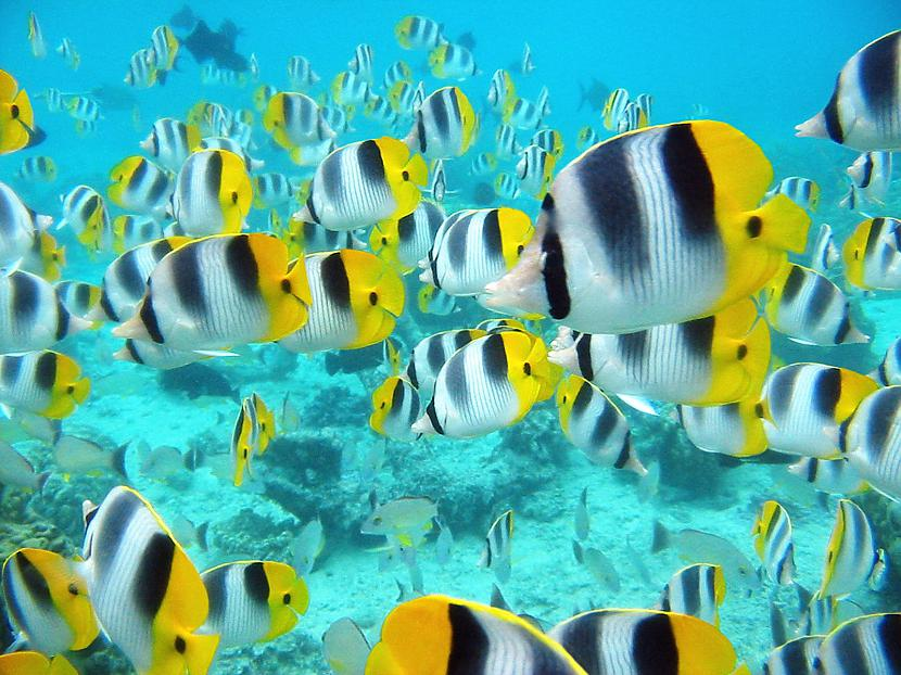 Raynemācēju iztulkotīsspuru... Autors: Fosilija 10 fakti par zivīm.