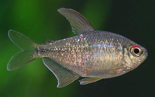 Dažas zivju sugas migrē starp... Autors: Fosilija 10 fakti par zivīm.