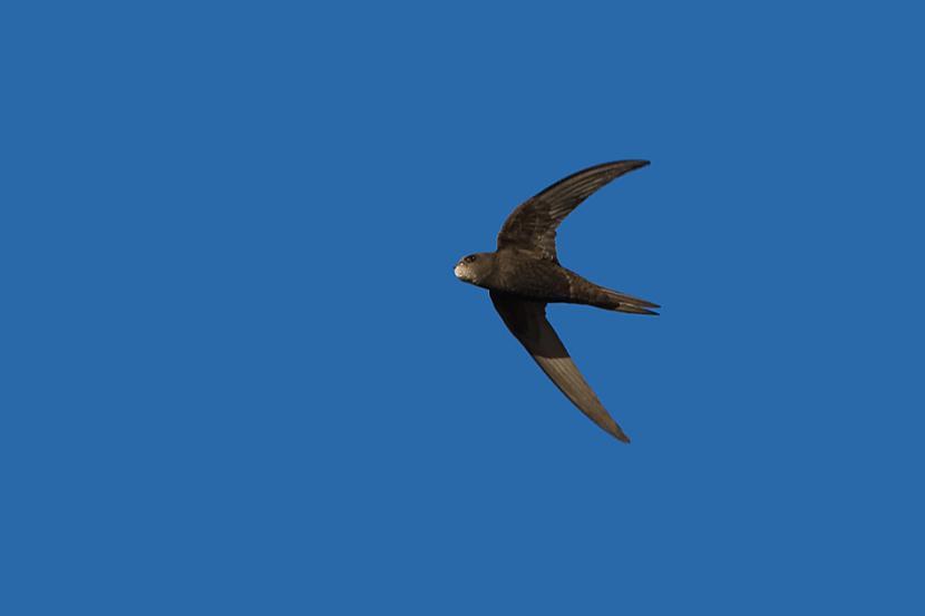 Svīre ir putns kas prot gulēt... Autors: ML Neticami, bet fakts - 3
