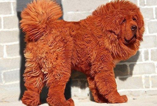Autors: exit22 Dārgākais suns pasaulē maksā miljonu!