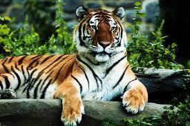 Tīģerim ir svītraina āda ne... Autors: damanto Fakti, ko tu iespējams nezini 2