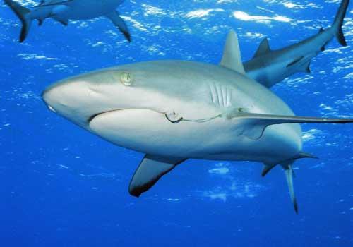 Plēsīgākā haizivs ir... Autors: ML Neticami, bet fakts - 7. Beigas.