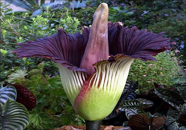 Autors: baaanis Lielākā un smirdīgākā puķe pasaulē.