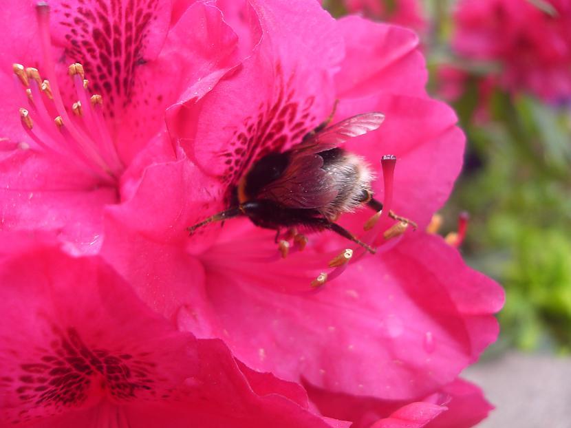 Kamenīte meklē ziedputekšņus Autors: anely4 Dārzā