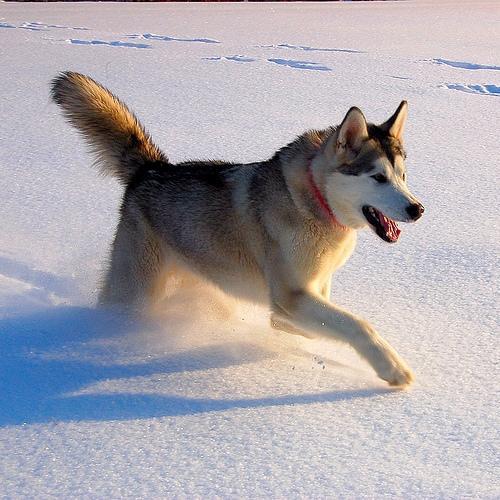 Aļaskas malamutsŠie suņi ir... Autors: DogPeople Gāžam stereotipus!