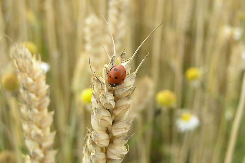Skriet pa rudzu lauku ir tik... Autors: MINKA321 VASARA - mēs TEVI gaidam!