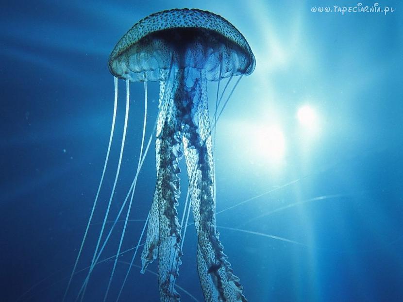 Medūza sastāv no 95 ūdens Autors: TripleH Ļoti interesanti fakti!