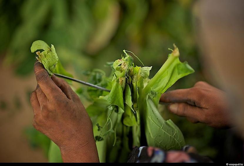 tabakas darva iesūcas ādā un... Autors: Džordžs no Džungłiem Kā izaudzē tabaku ?