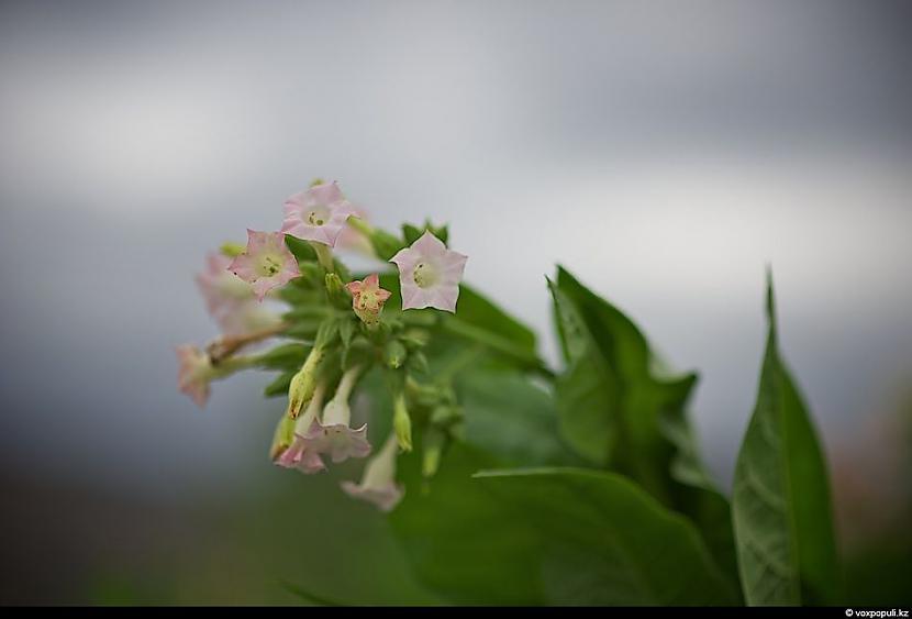 Papildus no tabakas ziediem... Autors: Džordžs no Džungłiem Kā izaudzē tabaku ?