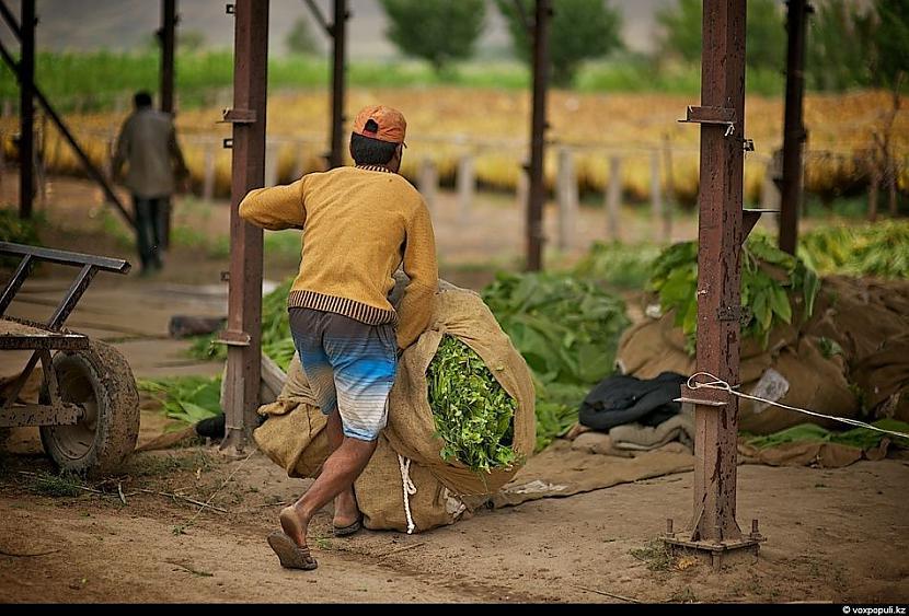 No 6 hektāru lielas platības... Autors: Džordžs no Džungłiem Kā izaudzē tabaku ?