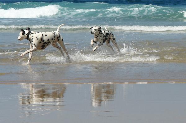 DALMĀCIEŠI  Šīs šķirnes suņi... Autors: sunshinee Bīstamākie suņi pasaulē.