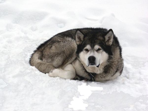 AĻASKAS MALAMUTS  Šīs šķirnes... Autors: sunshinee Bīstamākie suņi pasaulē.