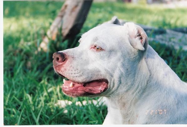 BULTERJERI  Bulterjeri ir... Autors: sunshinee Bīstamākie suņi pasaulē.